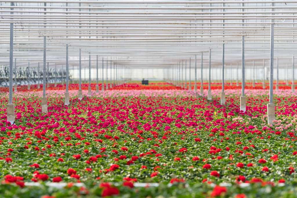 Les roses cultivées sous serre aux Pays-Bas consomment beaucoup plus d'énergie que celles cultivées en plein champ en Afrique ou en Équateur. © hansenn, Adobe Stock