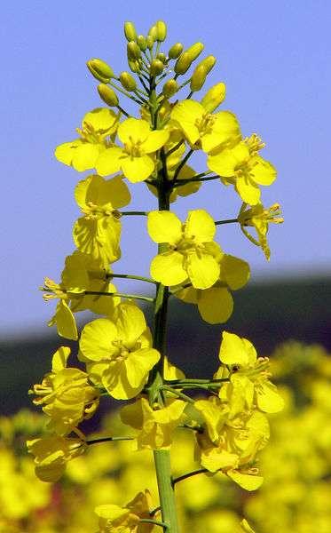 Brassica napus, nom scientifique du colza, est une plante cultivée en agriculture pour la production d'huile extraite des graines. Plusieurs types de colza génétiquement modifié ont été retrouvés au bord des routes américaines. © Wikimedia Commons