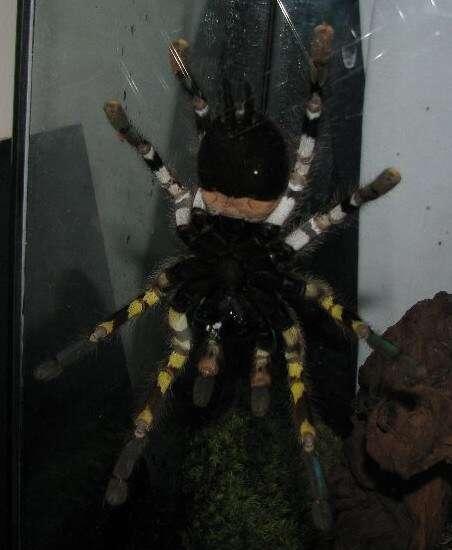 On distingue Poecilotheria rajaei des autres du genre par ses marques jaunes sur les pattes et une bande rosée sur son abdomen. © Ranil Nanayakkara