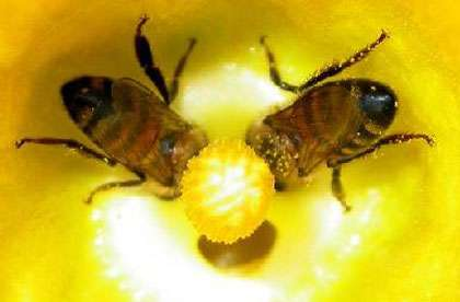 Deux abeilles se délectant d'une fleur de citrouille. Insectes, oiseaux et mammifères pollinisent les deux tiers de nos cultures vivrières.© Photo: Chris Higgins