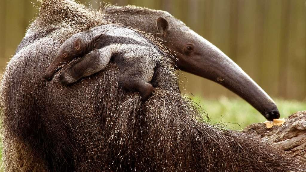 Petit fourmilier sur le dos de maman