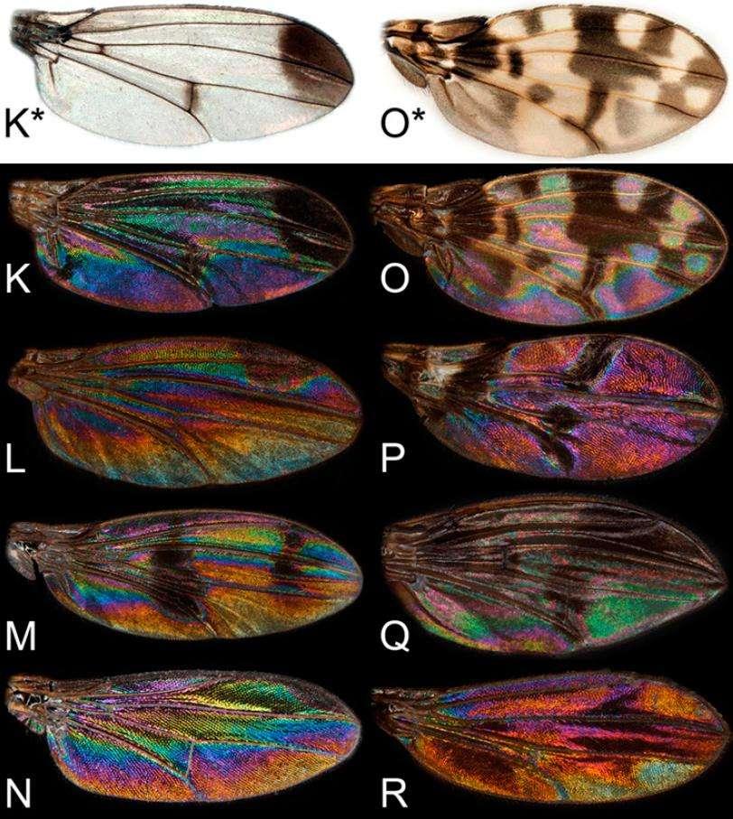 Les ailes d'Insectes observées sur fond noir montrent de jolies couleurs irisées, invisibles sur fond blanc. © Pnas