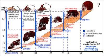 Schéma de l'hominisation. © DR