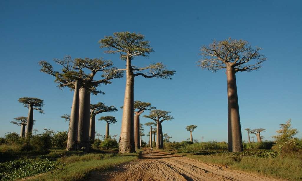 Allée des baobabs, près de Monrondava
