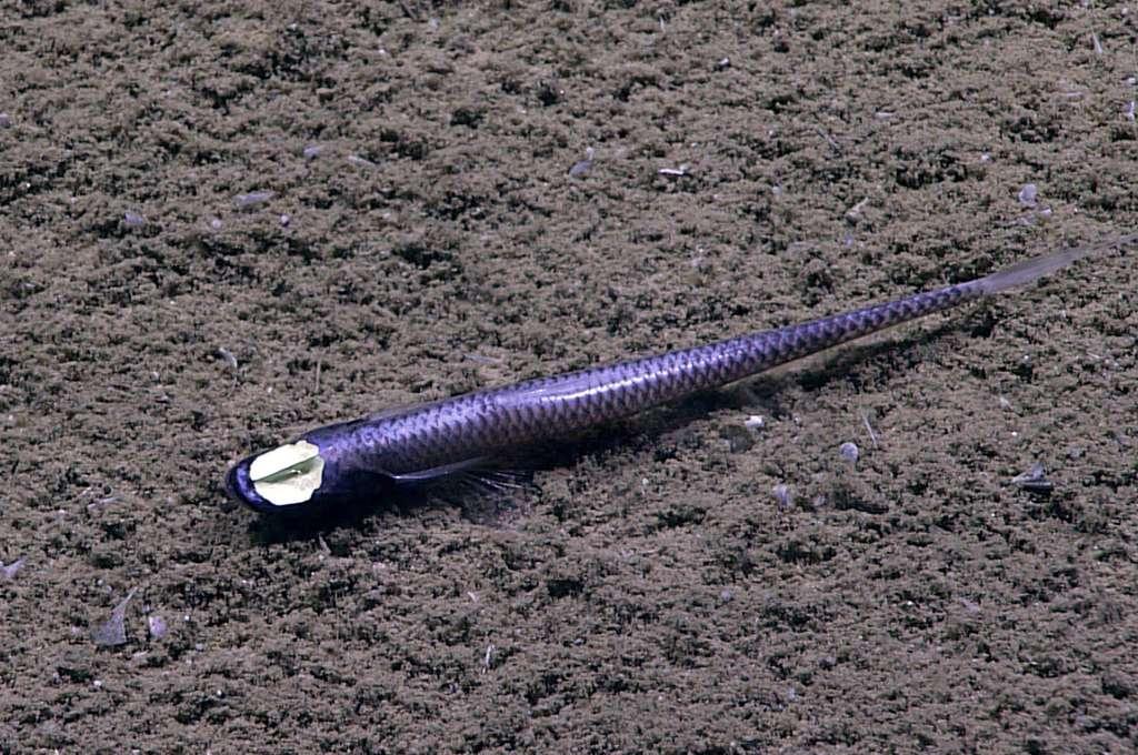 Ce spécimen d'Ipnops a été photographié dans le Golfe du Mexique. © NOAA, domaine public