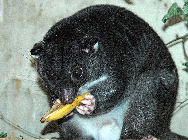 Couscous terrestre de Nouvelle-Guinée. © Drcwp1, Wikipédia, DP