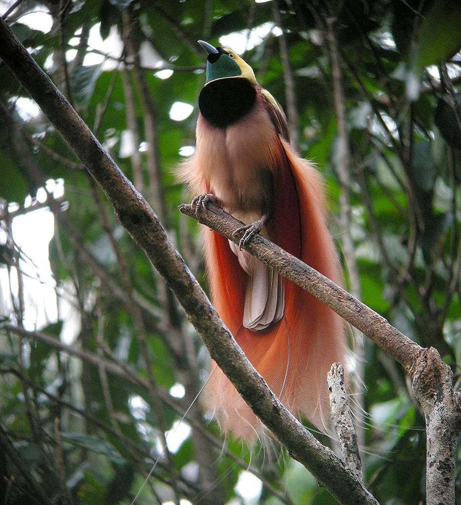 Paradisier de Nouvelle-Guinée (Paradisaea raggiana). © markaharper1, Wikimedia Commons