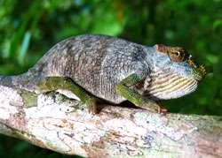 Le nouveau venu dans la famille des caméléons : Kinyongia magomberae. © Université de York