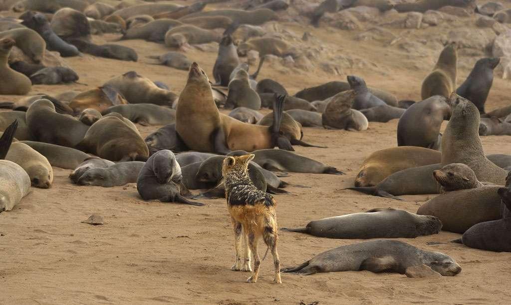 Un chacal à chabraque parmi les otaries à fourrure du Cap, à Cape Cross, sur la côte des Squelettes, en Namibie. © Hans Hillewaert, Wikimedia Commons, CC by-sa 3.0