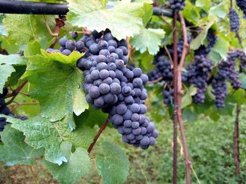 Découvrez les secrets du vin au cœur des vignes et vignobles français. © Rdesai, CC by 2.0