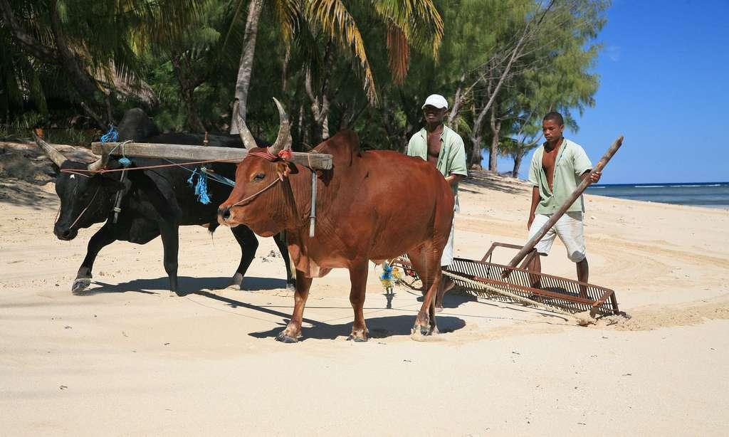 Nettoyage d'une plage par les zébus, Nosy Saba