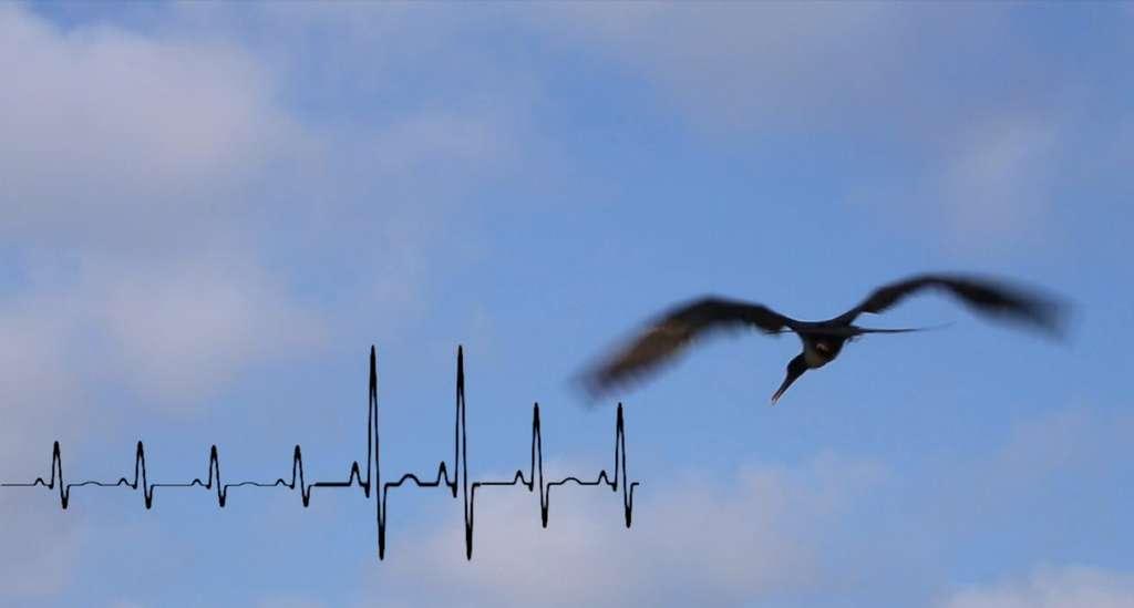 Les capteurs permettent de compter les battements d'ailes mais aussi, comme on le voit ici, les mouvements cardiaques. Cette image est extraite d'une vidéo présentant le film Independence days, sur les traces des jeunes prédateurs marins, primé par le Conseil européen de la recherche (ERC). © Henri Weimerskirch et Aurélien Prudor