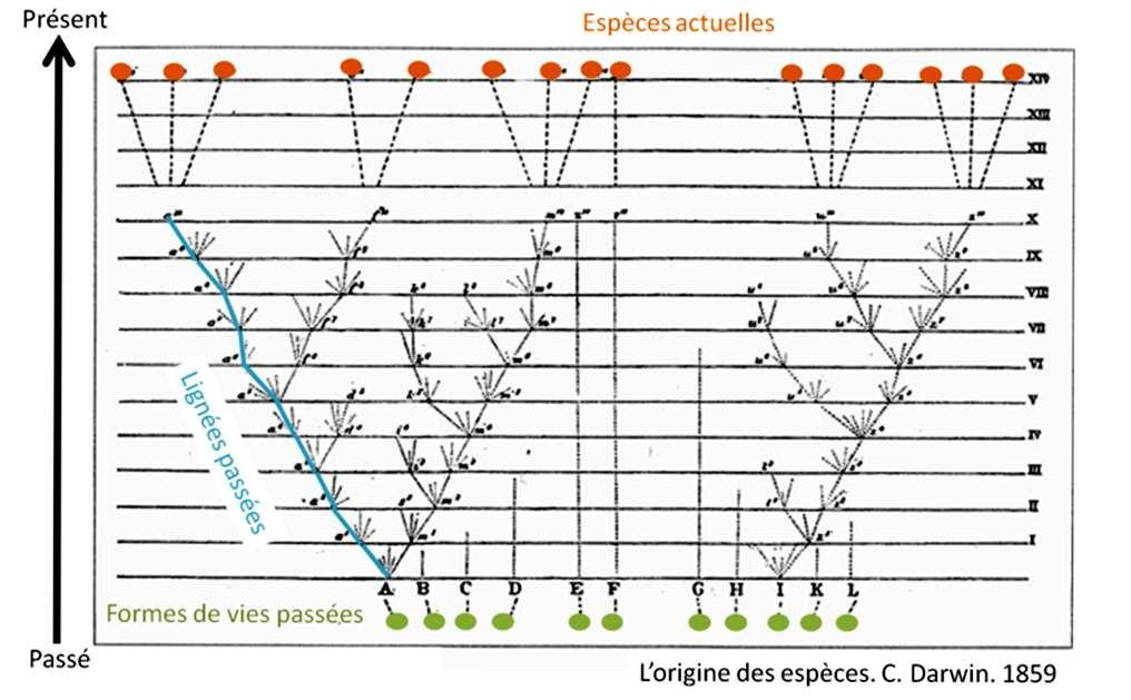 L'arbre de Darwin. Cette unique figure de L'origine des espèces illustre le processus de descendance avec modification. Ce processus établit des liens généalogiques entre les êtres vivants. Les espèces et formes de vies ancestrales sont situées à la base de ce dessin. Sous l'action de la sélection naturelle, les membres d'une espèce divergent au cours des générations, donnant naissance à de nouvelles lignées. Pour cette raison, les espèces contemporaines (en haut du dessin) sont reliées à leurs ancêtres par une longue série de lignées intermédiaires désormais disparues. L'ensemble dessine un arbre. © DP