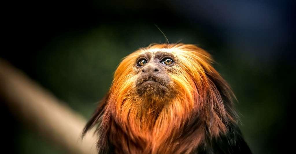 Des expériences sur des singes ici un tamarin, ont été réalisées pour évaluer leur goût pour la musique. © Anne Sarthou, Flickr, CC by-nc 2.0