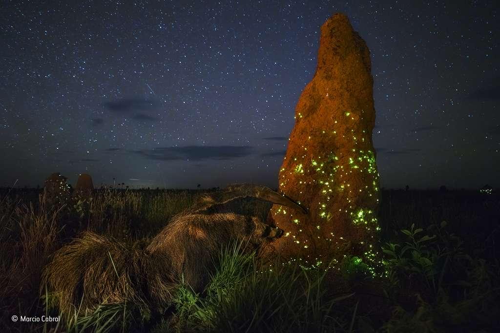 Au cœur de la nuit brésilienne, un fourmilier à l'assaut d'une étonnante termitière. © Marcio Cabral, 2017 Wildlife Photographer of the Year