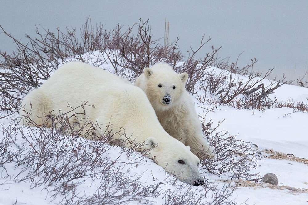 Ours polaires dont l'habitat se réduit avec le réchauffement climatique. © Simon Gee Polar Bear International, tous droits réservés, reproduction interdite