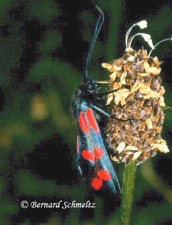 La Zygène de la Filipendule, Hétérocère diurne Zygaena filipendulae (L., 1758) (Zygaenidé). Les Zygènes sont toxiques pour les oiseaux car elles contiennent de l'acide cyanhydrique. © Bernard Schmeltz