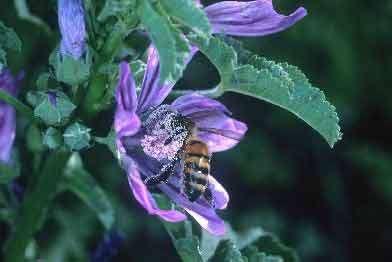 Abeille domestique (Apis mellifera) en train de récolter du nectar sur une fleur de mauve © INRA / N. Morison