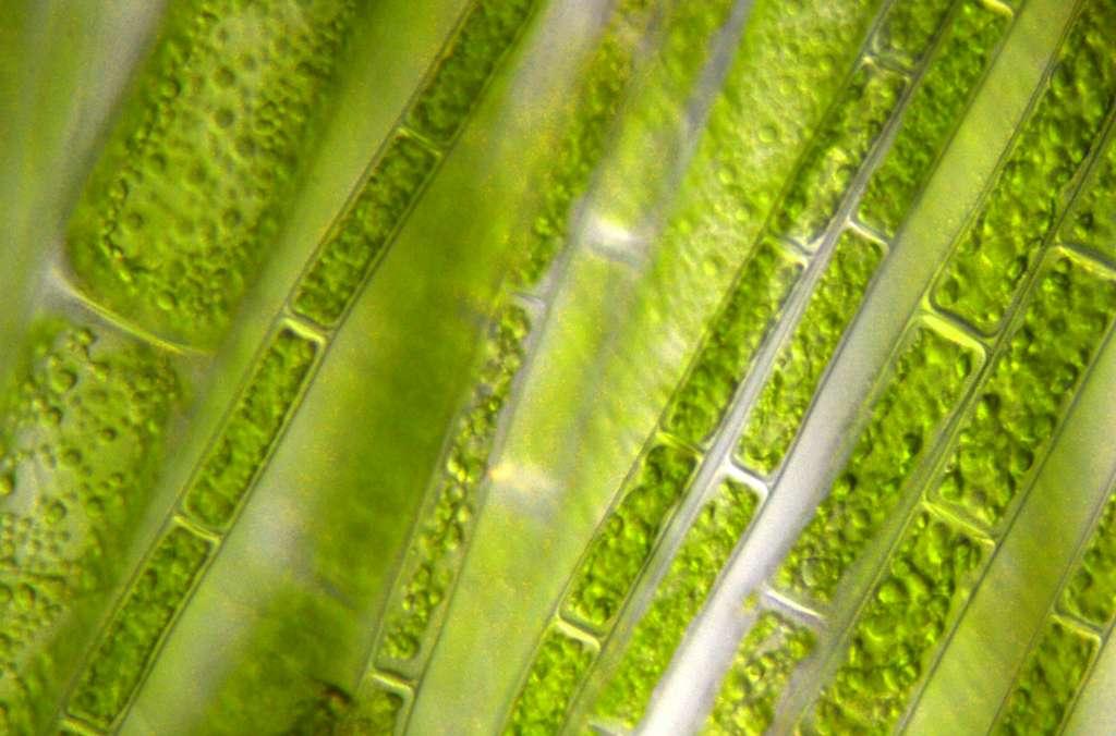 TotalEnergies et Veolia, un partenariat de deux multinationales pour produire à grande échelle du biocarburant à partir de microalgues. © Barbol, Adobe Stock
