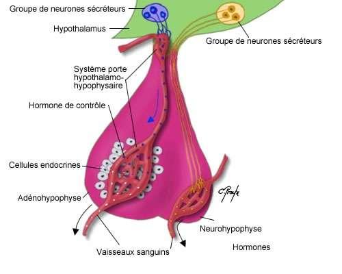Vue globale du système porte hypothalamo-hypophysaire. © Chantal Proulx