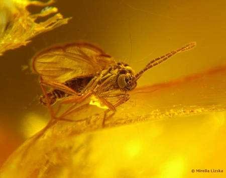 Insecte pris dans l'ambre : une observation qui demande une interprétation © Wikipedia