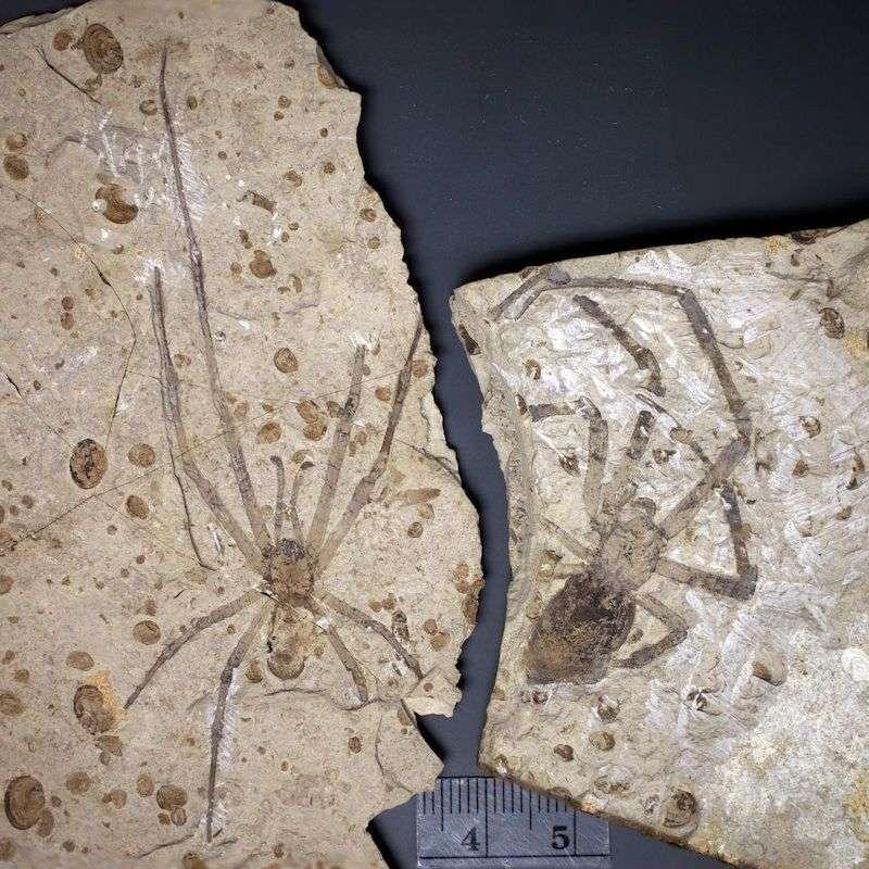 Un couple d'araignées fossiles enfin réuni