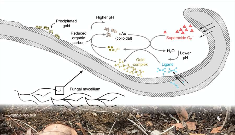 Fusarium oxysporum dissout l'or colloïdal des roches en ions or, ces derniers réagissant ensuite avec un ligand produit par le champignon. Le complexe formé est alors précipité sous forme de nanoparticules dans le mycélium. © Tsing Bohu et al, Nature Communications, 2019