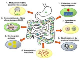 Les différents rôles du microbiote intestinal. © Salsero35, Wikimedia Commons, CC by-sa 4.0