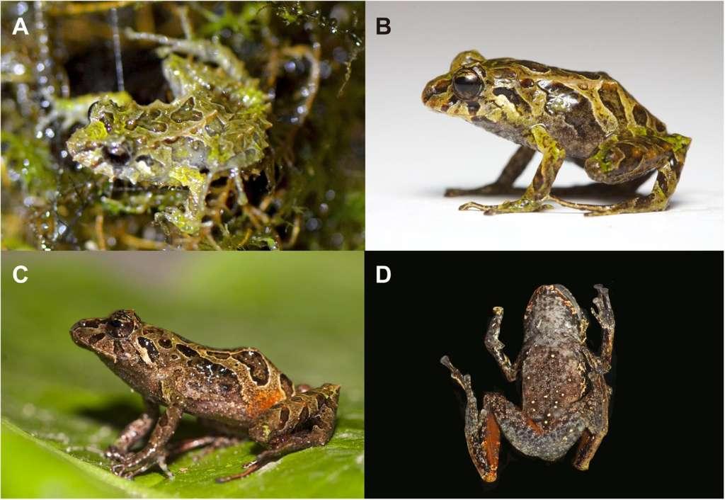 Contrairement aux apparences, ces quatre grenouilles appartiennent à la même espèce. En A et B, deux mâles subadultes, l'un la nuit et chez lui, l'autre au laboratoire. En C et D, des femelles adultes. En plus des variations de la texture de sa peau (entre A et B), cette petite grenouille arbore donc plusieurs aspects selon l'âge et le sexe. Une fantaisie qui peut tromper les zoologistes... © Juan M. Guayasamin et al., Zoological Journal of the Linnean Society