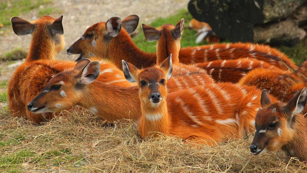 Le sitatunga, une antilope semi-aquatique