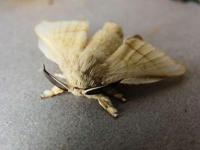 Forme adulte du ver à soie, Bombyx mori. © DavidHT, Flickr, cc by 2.0