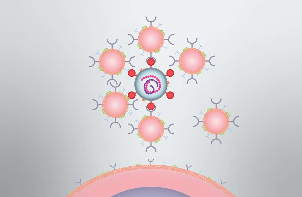 Les nanoéponges (en rose) attirent le virus que se lie sur ces fausses cibles et qui est ainsi neutralisé. © David Baillot, UC San Diego Jacobs School of Engineering