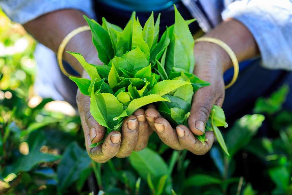 Boire du thé vert au moins trois fois par semaine serait bon pour la santé, mais le thé noir ne produirait pas autant de bienfaits. Cueillette du thé vert au Sri-Lanka. © Tunach17, Adobe Stock