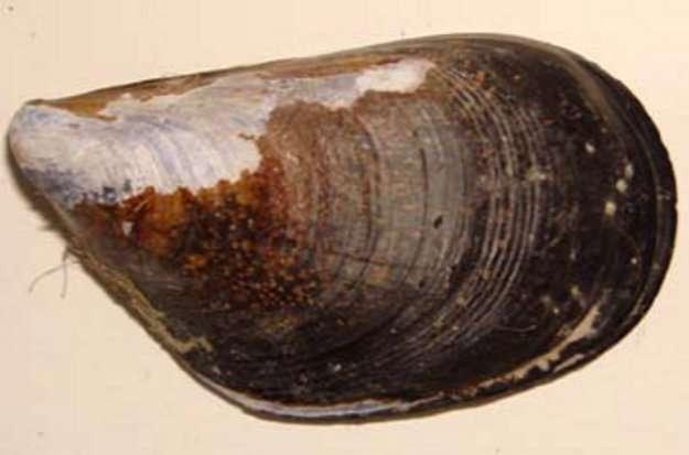 Coquille d'une moule (Mytilus galloprovincialis) maintenue à un niveau d'acidité élevé. Les parties blanchâtres ne sont pas protégées par une couche organique et se dissolvent. © Riccardo Rodolfo-Metalpa (IAEA)