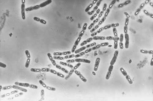 Colonie de Bacillus thuringiensis, bactéries pathogènes pour les insectes.© Photo J. Niore/INRA. - Toute reproduction et exploitation interdites