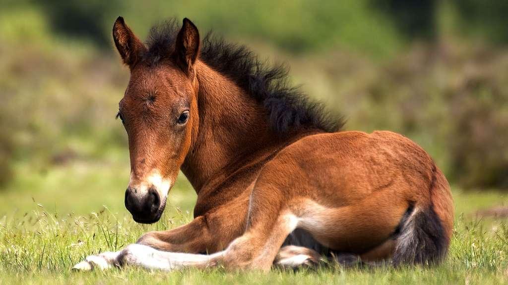 Le poulain, le petit du cheval