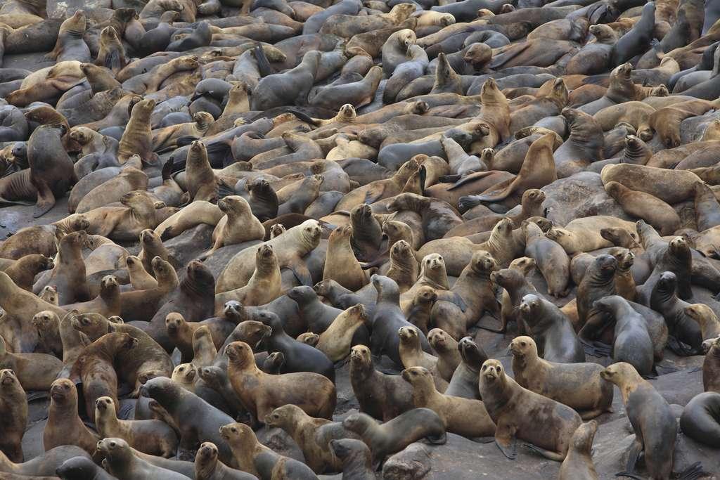 Les lions de mer ou otaries à crinière
