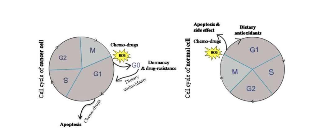 Actions du stress oxydant et des antioxydants sur les cellules cancéreuses et saines. © Nutrition Review