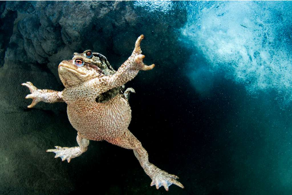 Amplexus. © Mathieu Foulquié, BigPicture Natural World Photography Competition