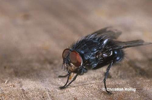 Calliphora vicina, mouche à viande, mâle © C. König Reproduction et utilisation interdites