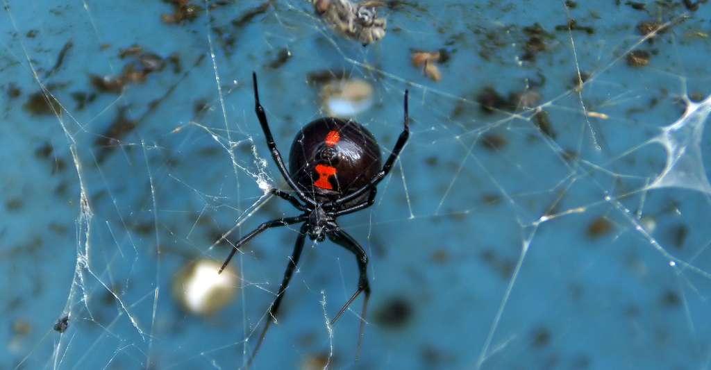 La veuve noire est un animal venimeux. Elle est très connue pour la toxicité de son venin. © Robyn Anderson, CC by-nc 2.0