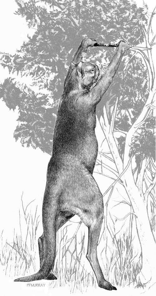 Sthenurus est un genre de kangourou, dont les spécimens étaient de grande taille (environ 3 mètres). Ils sont désormais tous éteints. © Peter Murray