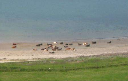 Un troupeau de vaches se prélasse sur une plage, en Ecosse. Il y a bien un sens préférentiel... © Reine Rebourg