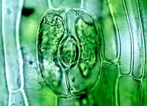 Stomate, vue en microscopie