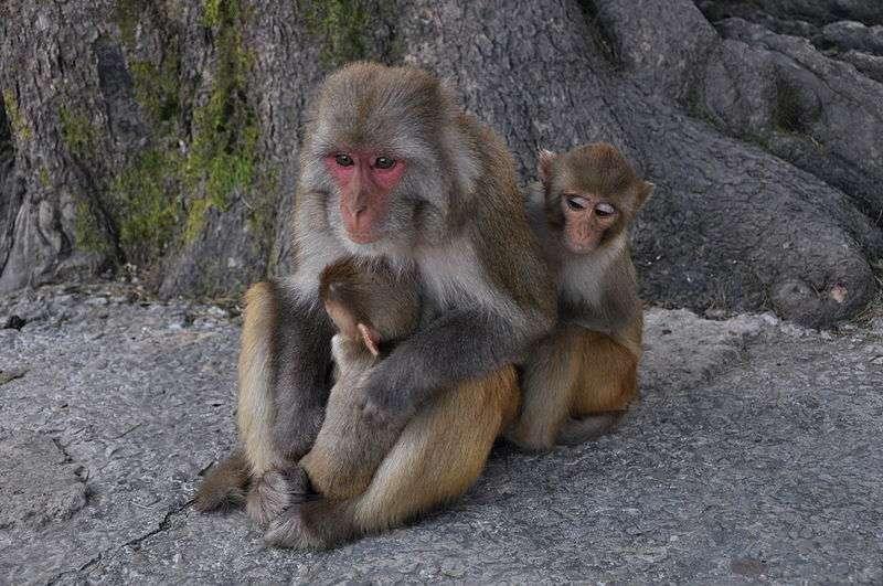 Femelle macaque rhésus et sa progéniture. © Aiwok, GNU FDL Version 1.2