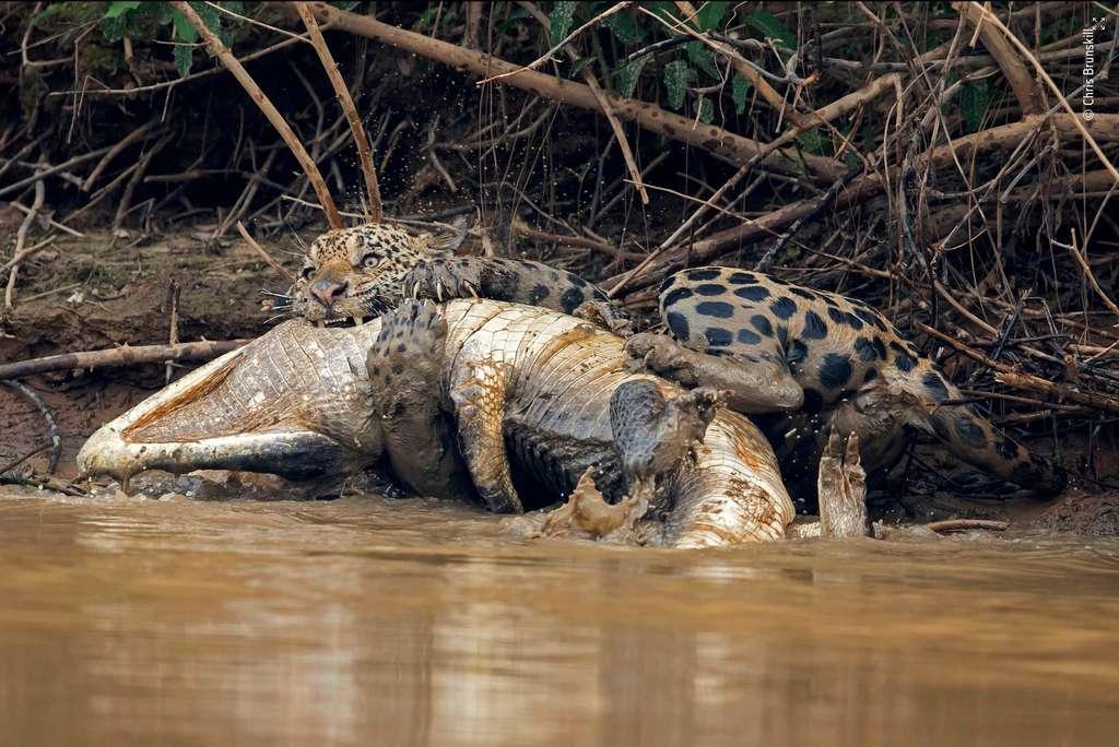 Principaux prédateurs dans la forêt amazonienne, ce jaguar et ce caïman se sont livrés à un combat sans merci. Un spectacle rare. © Chris Brunskill
