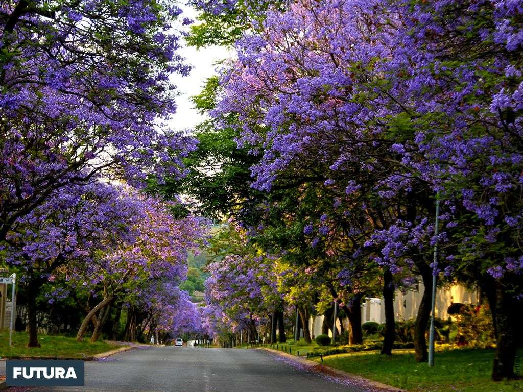 Jacarandas - Afrique du Sud