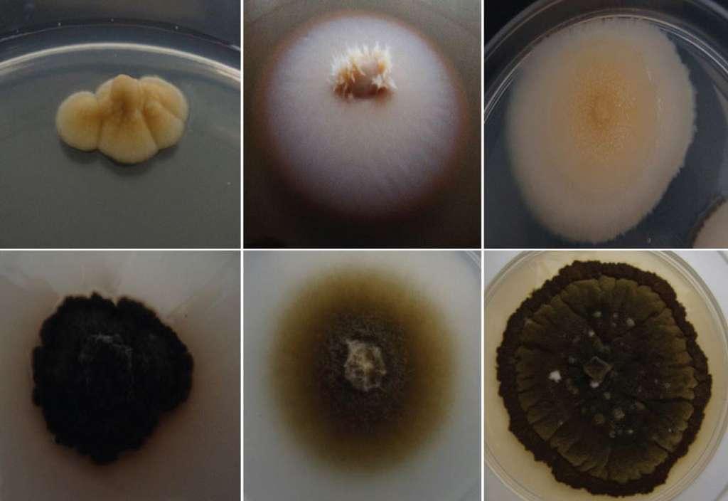 Le champignon Aeminium ludgeri appartient à une nouvelle famille de moisissure noire. © João Trovão