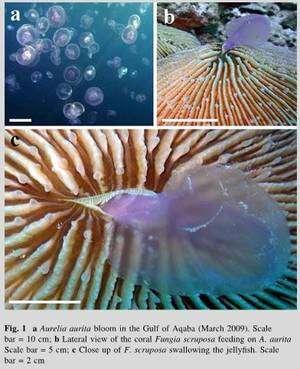 Cliquer pour agrandir. A : bloom de méduses Aurelia aurita dans le Golfe d'Aqaba, B et C : Fungia scruposa dévorant une méduse commune. Les échelles (barre blanche) sont respectivement de 10,5 et 2 cm. © 2009 Springer-Verlag, Coral Reefs, Volume 28, Numéro 4 / Décembre 2009