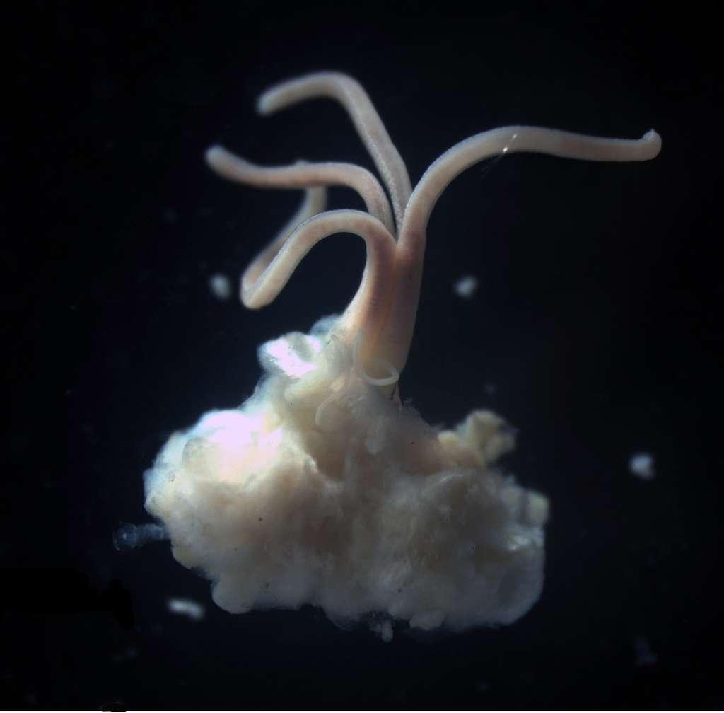 Cette créature de quelques centimètres est un ver zombie mangeur d'os. Plus précisément, c'est un annélide nécrophage du genre Osedax. Il a élu domicile dans le squelette du petit rorqual découvert près de l'Antarctique. © Natural History Museum